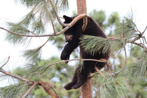 bear baby animal nature