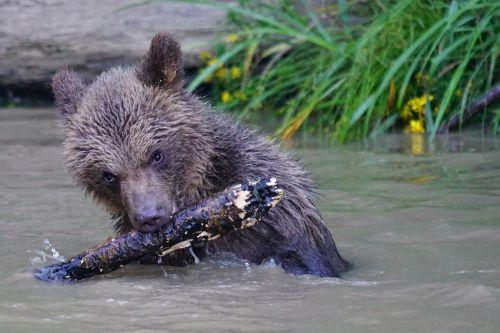 bear brown bear predator