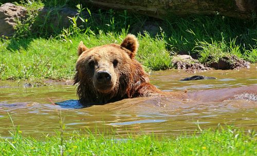 bear brown bear water puddle