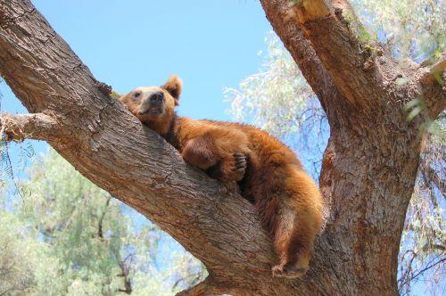 bear tree nap