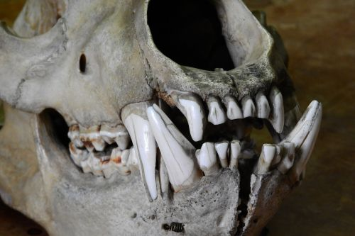 bear ursus skull