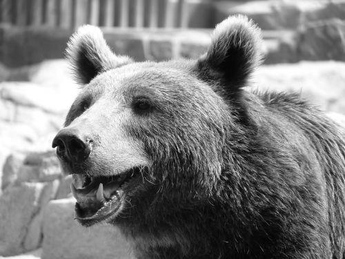 bear starring fur