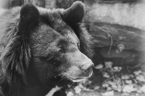 bear black captivity