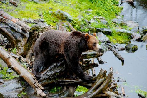 bear alaska nature