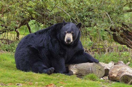 bear black bear wild animal