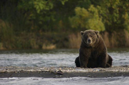 bear sitting wildlife