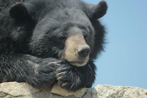 bear quiet black