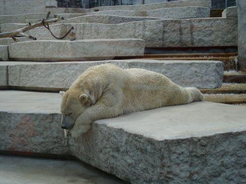 bear lazy sleep