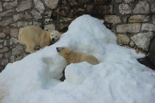 bear white bear zoo
