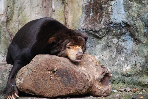 bear zoo asleep