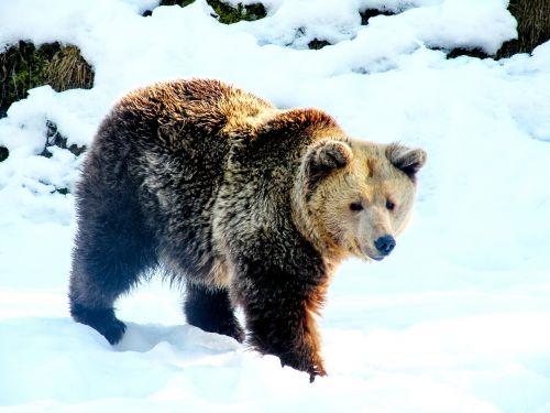 bear snow brown bear