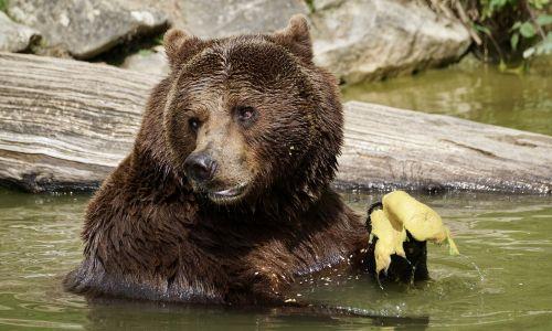 bear brown bear animals