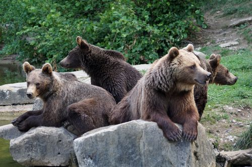 bear brown bears nature