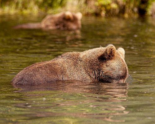 bear alaska fish