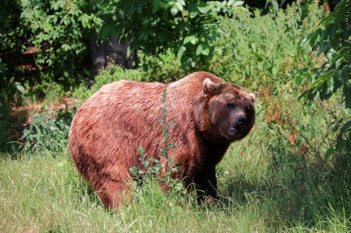 bear nature brown bear