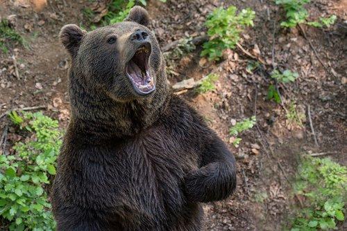 bear  brown bear  teddy bear