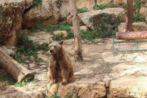 bear  the biblical zoo  animals