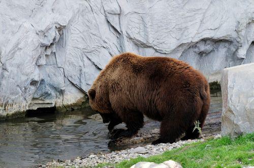 bear brown kamchatka bear