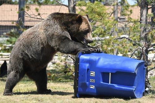 bear  trash  grizzly