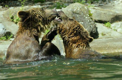 bear brown bear ursus arctos