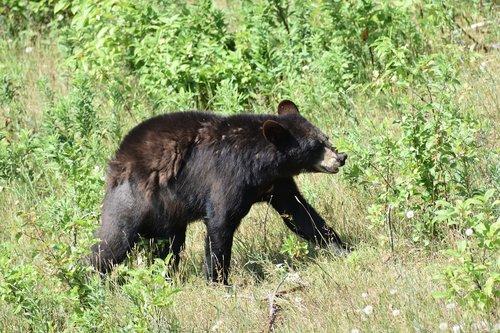 bear  black bear  animal