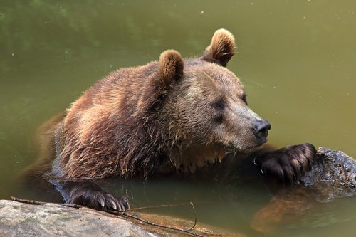 bear  brown bear  wild animal