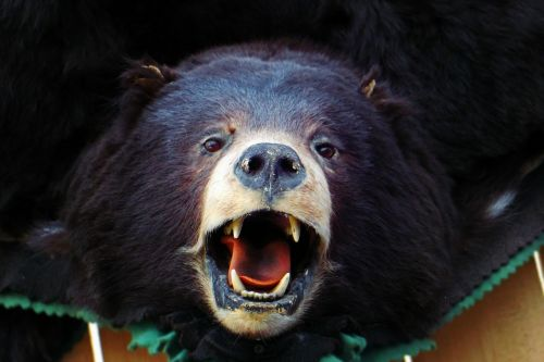 bear head brown bear