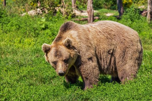 bear brown bear animal