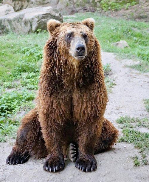 bear  brown  kamchatka