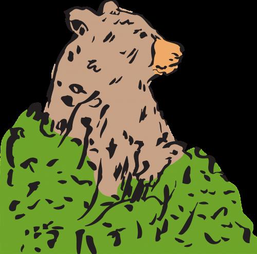 bear brown bear ursus