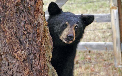 bear cub animal