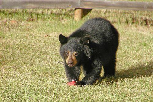 bear animal young