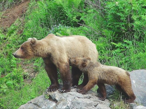 bear cub alaska