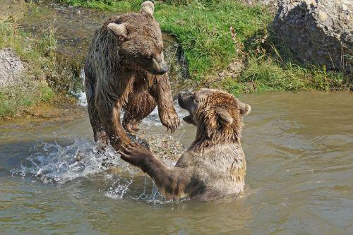 bear playful water