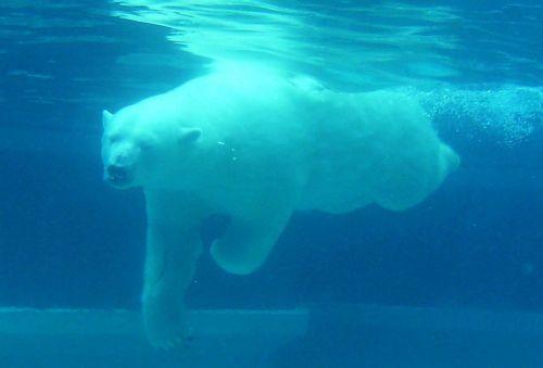 bear polar diving