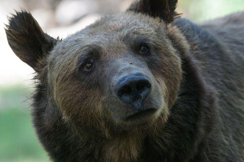 bear dangerous maverick