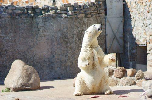polar bear white bear bear