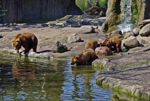 bear family bear animal