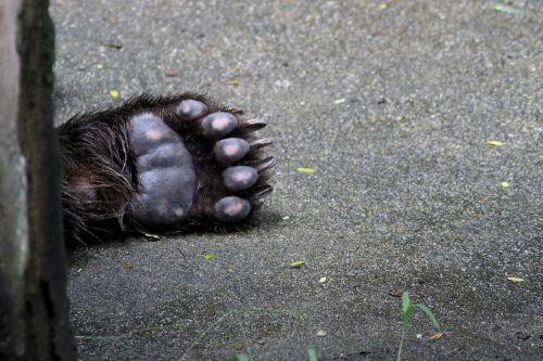 bear foot bear animal