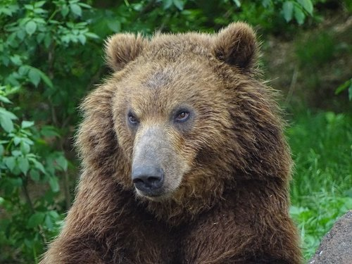 bear kamchatka  zoo brno  animals