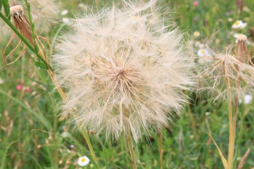 beard dandelion giant
