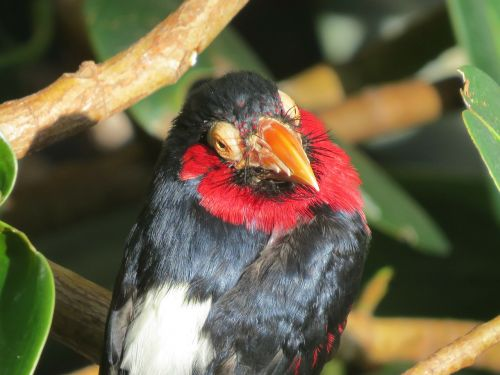 bearded barbet exotic bird close-up