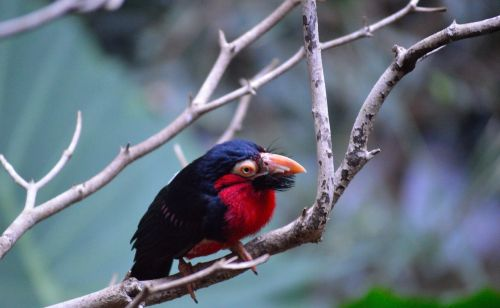 bearded barbet exotic colorful
