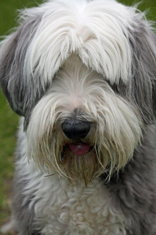 barzdotas & nbsp, collie, kolis, šuo, šunys, naminis gyvūnėlis, gyvūnas, veislė, Iš arti, portretas, nuotrauka, vaizdas, gražus, barzdotas kolio šunų portretas
