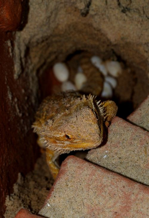 bearded dragon animals pogona vitticeps
