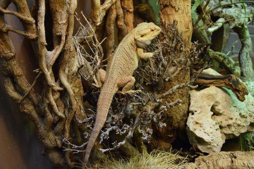 bearded dragon reptile terrarium