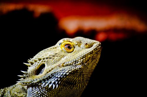 bearded dragon lizard terrarium