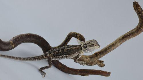 bearded dragon lizard agame