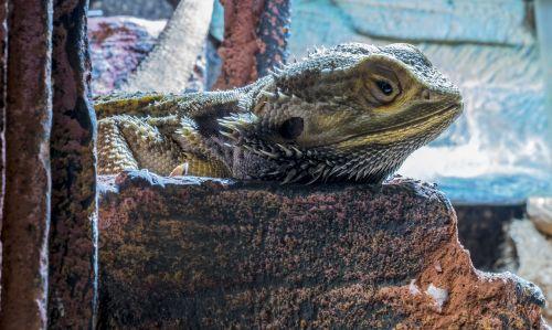 bearded dragon terrarium agame