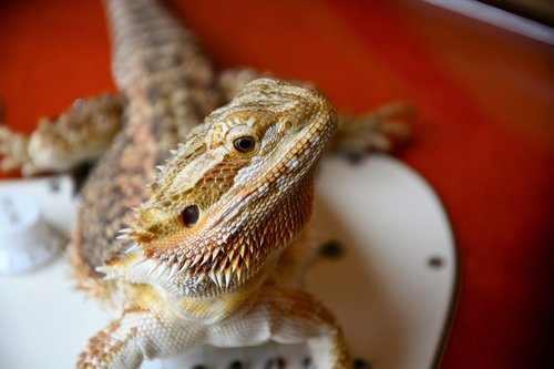 bearded dragon  lizard  staring